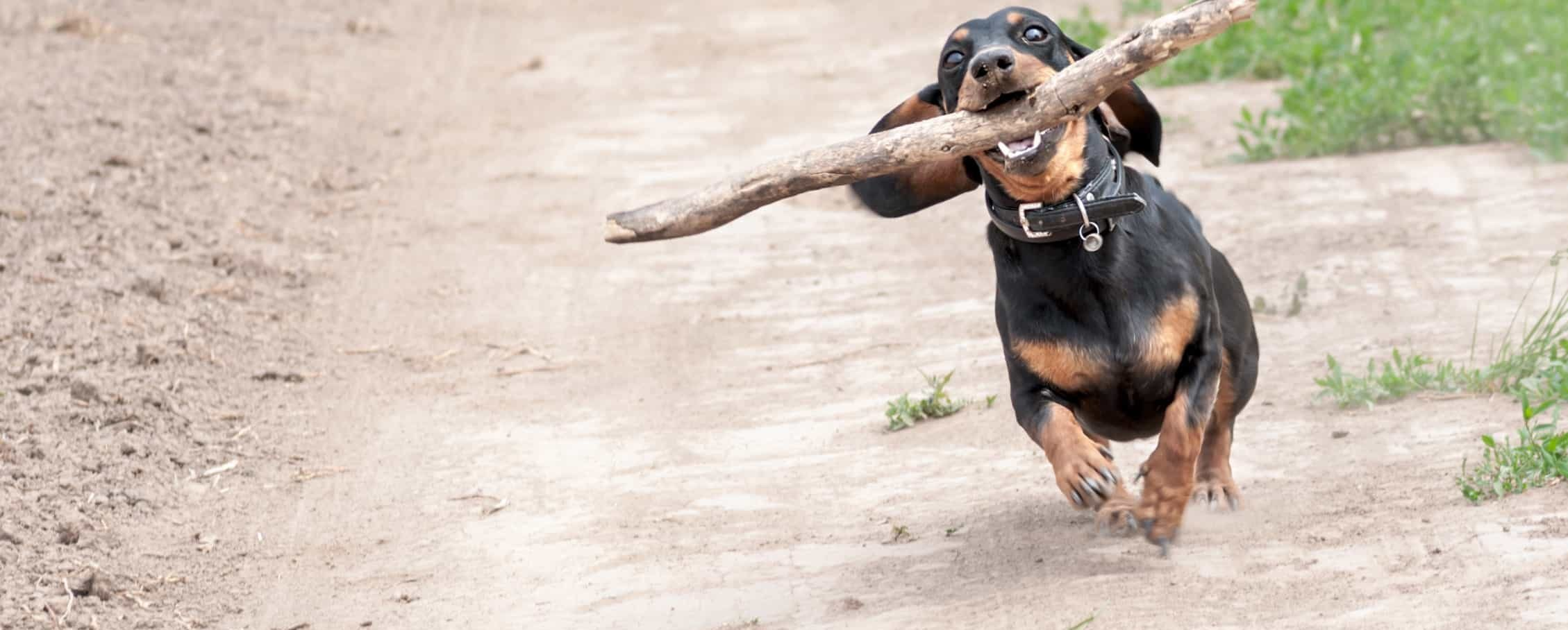 small black and tan dog running happily with giant stick