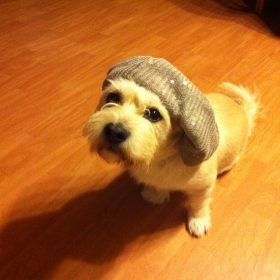 small white dog with saggy beanie hat on. dog is looking at camera