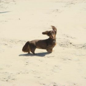 long haired Dachshund standing on beach enjoying the wind. dog is dark and light brown