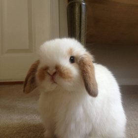 tiny, fluffy bunny sitting on floor. Bunny is tan and white
