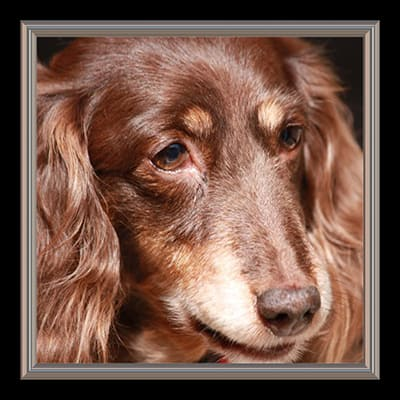 close up photo of long haired Dachshund. dog is dark and light brown