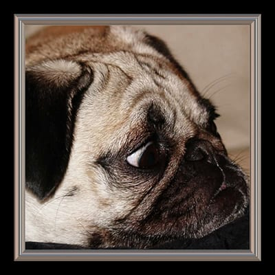 close up of pug dog laying down head and looking off camera