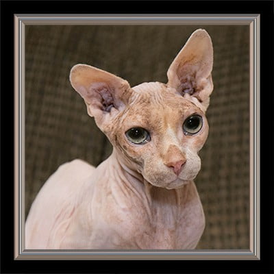 portrait of hairless cat with green eyes